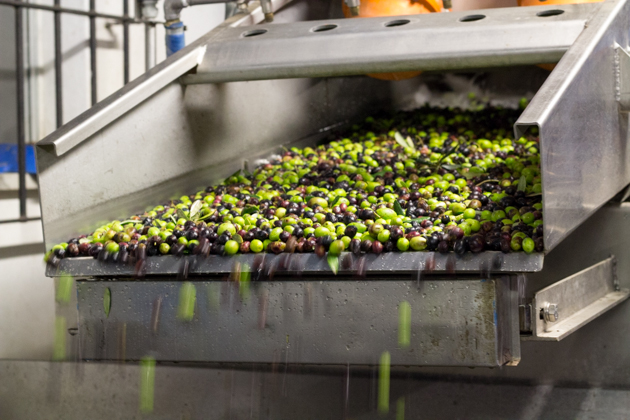 The clean olives being moved to the grinder