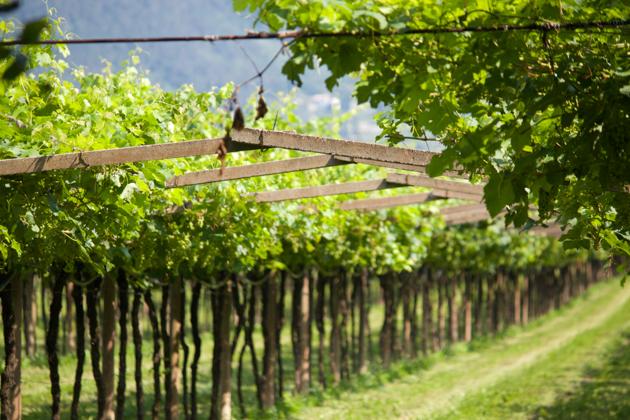 Pergola style vines