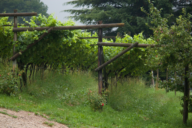 Older pergola-style vines