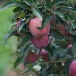 Alto Adige apples