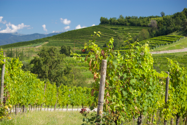 Vigne di Zamo's vineyards