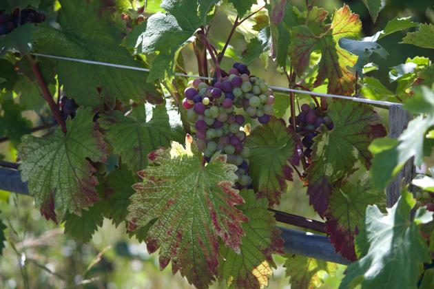 Vineyard for red wine grapes
