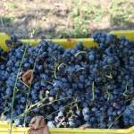 Primitivo grapes by Patrina_io