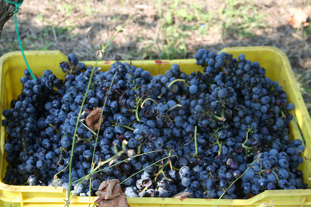 Primitivo grapes by Patrina_io