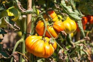 tomatoes, cuore di bue 2, lombardia