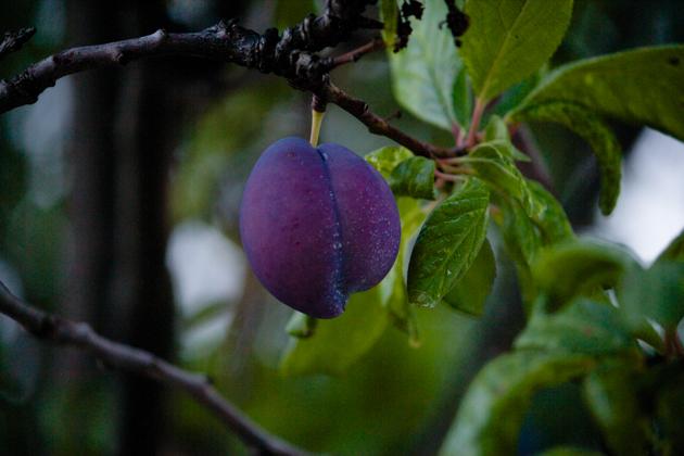 plum-veneto