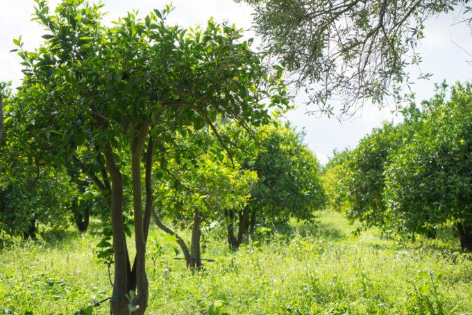 Moro orange trees