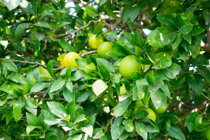 Moros ripening