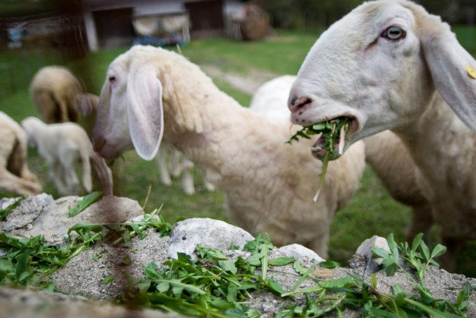 Lambs eating rocket by Leonora Giovanazzi
