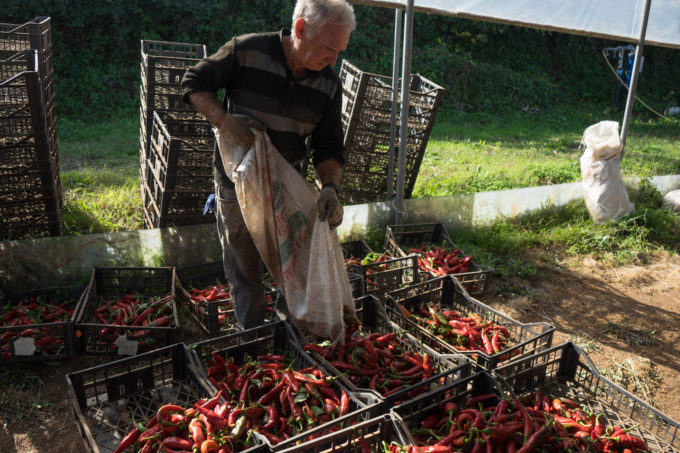 Placing the sweet chillies into crates.