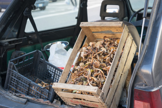 Opportunistic sellers arrive with crates of mushrooms in the back of their car