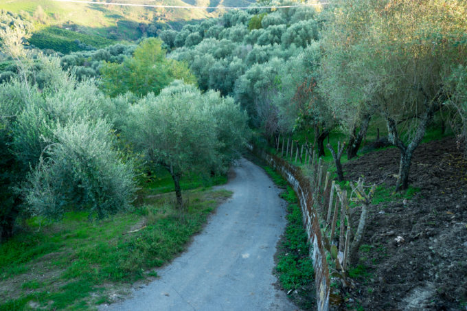 Calabrian olive groves