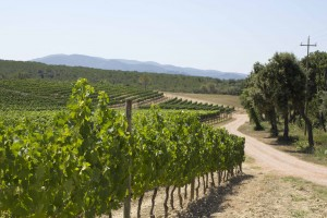 Masseto vineyard