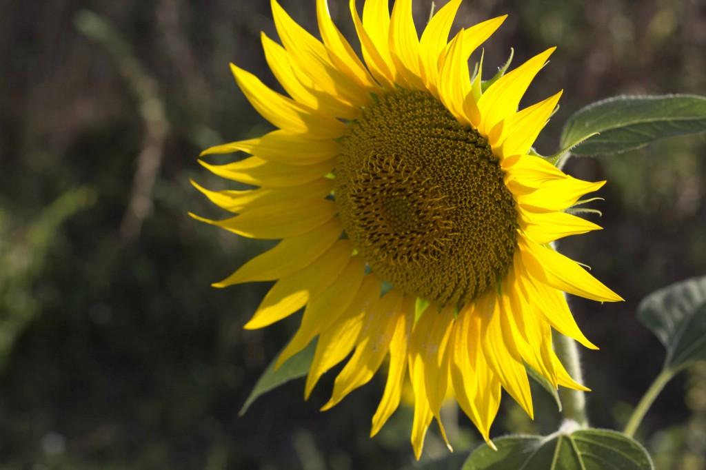 meimanrensheng.com sunflower