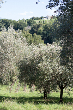 Olive groves leading down to the pool