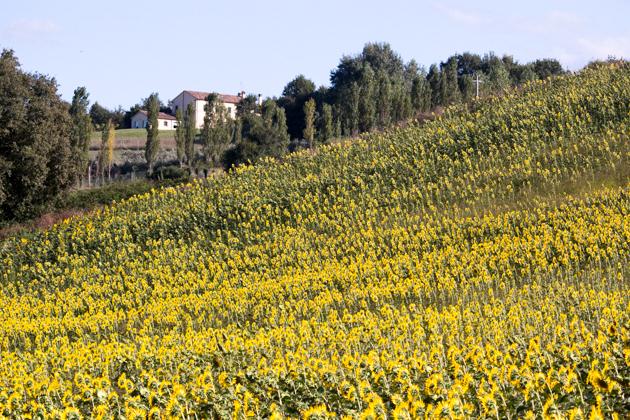 Poolside sunflower fields