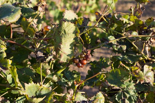 De Bartoli grapes
