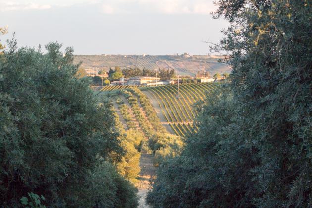 Planeta's olive tree estate