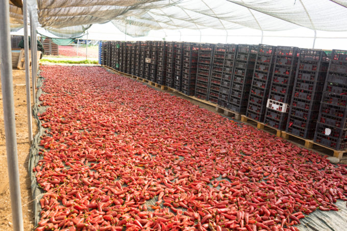 Chillies drying on sheets.