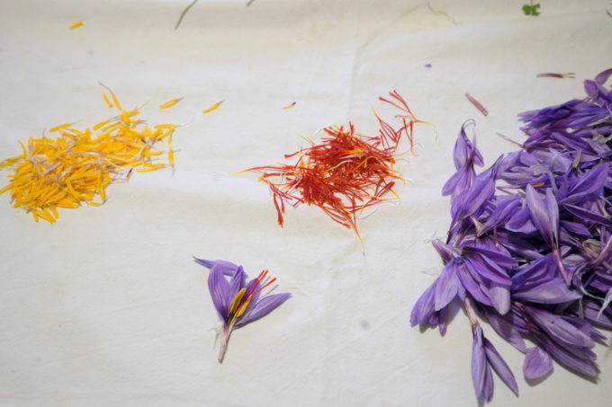 Red saffron stigma, the yellow stamen and the purple petals